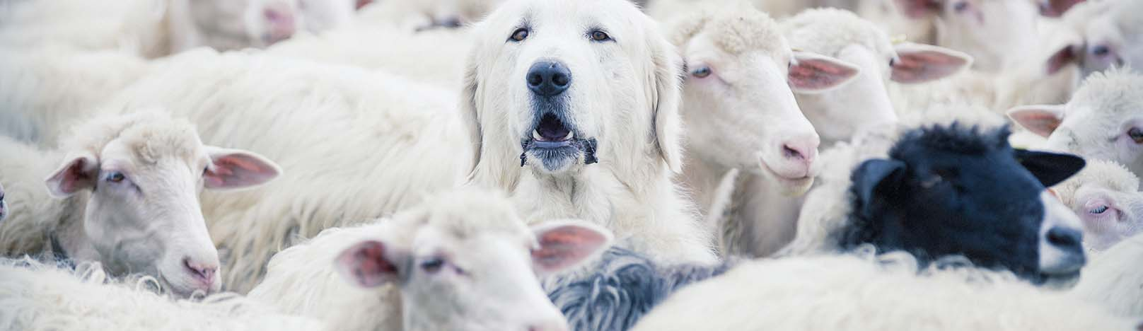 Dog among sheep