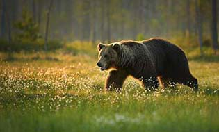 Bear walking thumbnail
