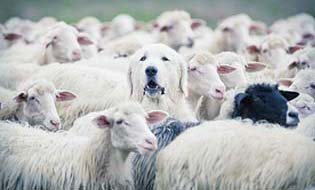 Dog among sheep thumbnail