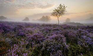 East anglia heather thumbnail