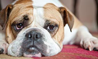 English bulldog thumbnail